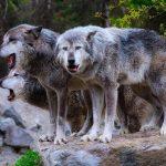 E' aperto il bando per la protezione dai lupi.